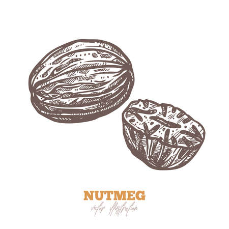 Isolated vector dry nutmeg on white. Spices sketch illustration
