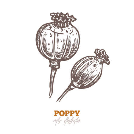 Vector dry poppy pods, isolated flowers on white. Spices and herbs sketch hand drawn illustration