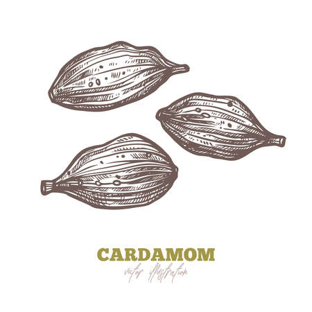 Isolated dry cardamom seeds in vector on white. Spices and herbs hand drawn sketch illustration Ilustrace