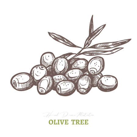 Bunch of olives and branches. Vector drawing. Mediterranean italian or greek food  agriculture ingredient. Hand drawn sketch illustration in etching or engraved style Ilustrace
