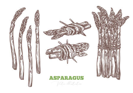 Sketch fresh raw asparagus, isolated, bunch and wrapped in ham meat, bacon or jamon. Organic healthy food and fresh green vegetable appetizer or snack. Vector etching hand drawn illustration
