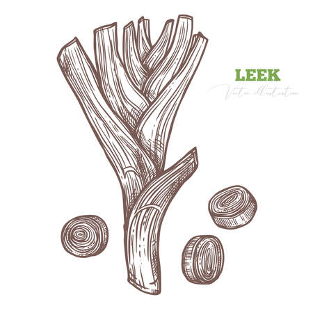 Sketch vector of fresh green leek and slices. Organic healthy food and fresh greenery and vegetables. Sketch hand darwn illustration