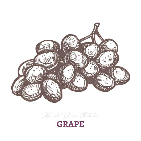 Vector sketch of wine grape brunch with. Fresh juicy ripe berry fruit. Hand drawn etching engraved illustration