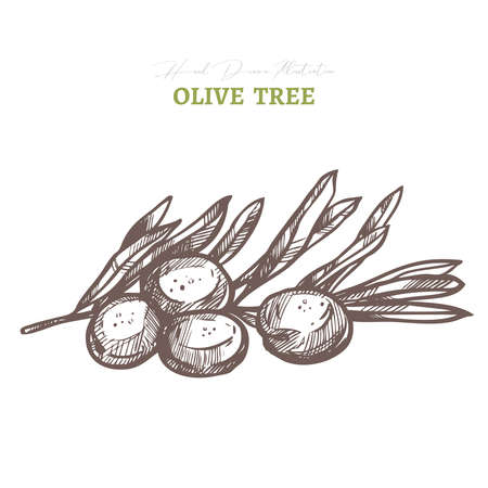 Vector olive tree branch. Mediterranean italian or greek food agriculture ingredient. Hand drawn sketch illustration in etching or engraved style