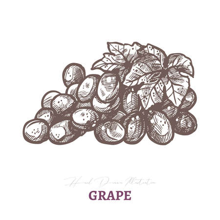 Vector sketch of wine grape brunch with leaf. Fresh juicy ripe berry fruit. Hand drawn etching engraved illustration