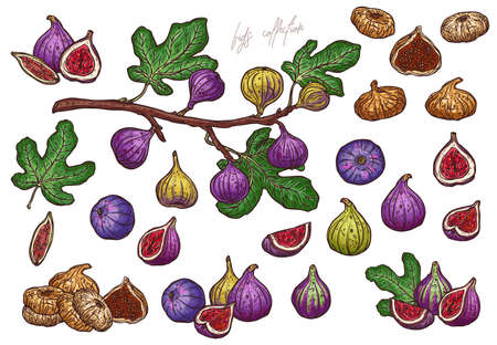 Dry and fresh figs vector hand drawn illustrations set. Ripe exotic delicious whole and chopped, sliced in half fruit outline illustration. Fig tree branch and leaves isolated clipart Vetores
