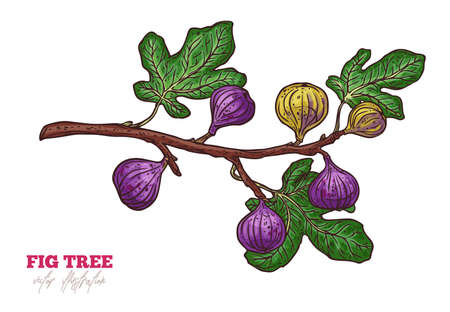 Fig tree branch  hand drawn illustration. Ripe exotic delicious fruit and leaves sketch illustration. Fresh purple tasty figs isolated clipart. Botanical greeting card design element