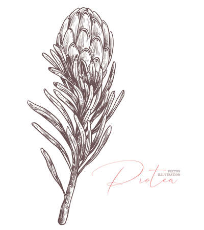 King protea sketch  isolated illustration. Exotic tropical hand drawn flower, symbol of South Africa. Design for print, textile, cards