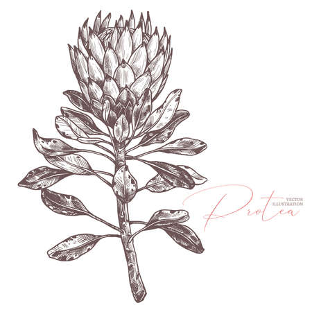 King tropical protea. Hand drawn sketch botanical illustration. Exotic african flower