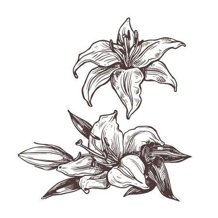 Hand drawn  isolated white flowers lily.  Botanical plant drawing