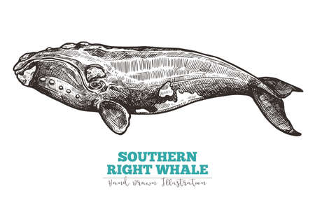 Hand drawn vector southern right whale. Sketch engraving illustration