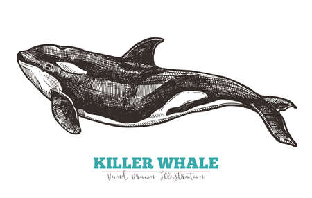 Hand drawn vector killer whale. Sketch engraving illustration Ilustracja