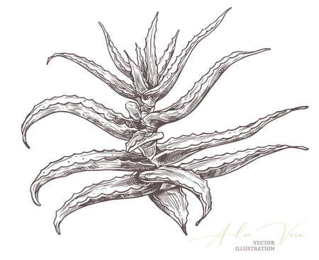 Aloe vera vector botanical illustration. Sketch hand drawn botanical illustration