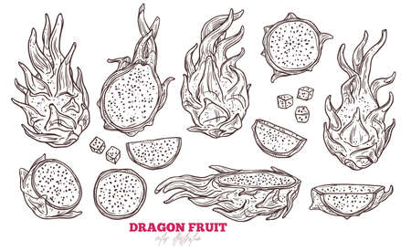 Dragon fruit vector set. Hand drawn sketch tropical exotic pitaya fruit illustration 일러스트