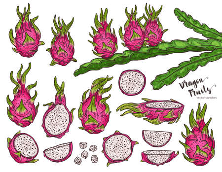 Dragon fruit vector set with hylocereus tree sketch vector and plant of pitaya. Hand drawn sketch colorful tropic exotic fruit illustration 일러스트