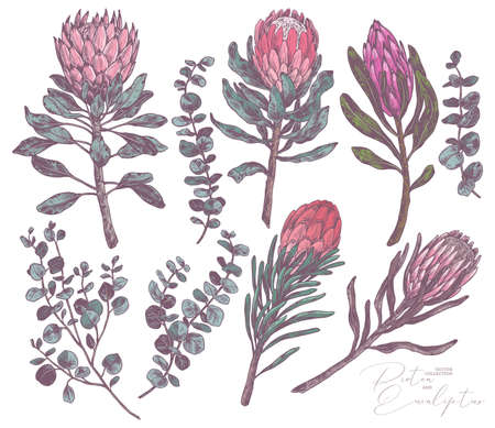 Set of king and queen tropical protea and eucalyptus. Vector hand drawn sketch botanical illustration. Bundle of exotic african flower and branches with green leaves