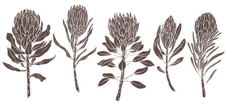 Silhouettes of king and queen protea african protea. Exotic tropical flowers