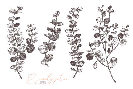 Set of vector hand drawn eucalyptus. Botanical collection of sketch branches with foliage, leaves, plants, herbs for decoration design of wedding cards, poster, print. Etching or engraved illustration Stock Illustratie