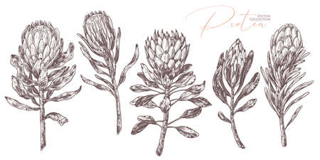Set of king and queen tropical protea. Vector hand drawn sketch botanical illustration. Bundle of exotic african flower