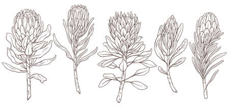 Set of king protea linear sketch vector isolated illustration. Collection of exotic tropical hand drawn flower, symbol of South Africa. Design for print, textile, cards