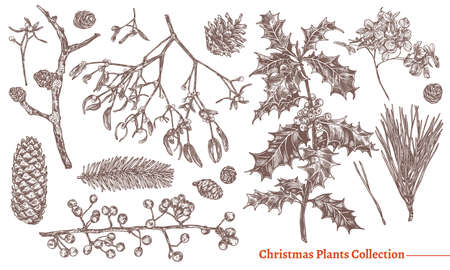 Christmas festive vintage collection of flowers and evegreen plants. Vector sketch engraved botanical set. Floral hand drawn etching fir-tree, holly berries, cones, spruce, mistletoe