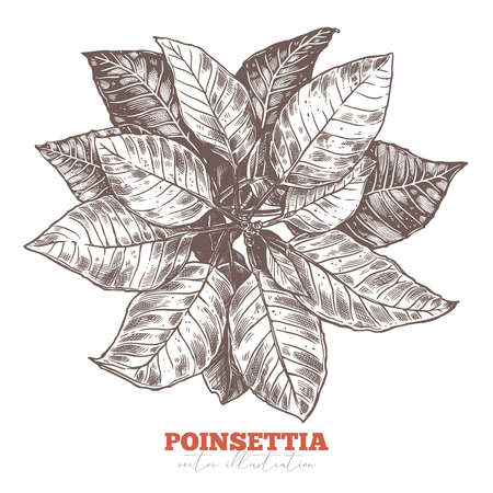 Festive floral decoration. Poinsettia flower, Christmas star holiday symbol and sign. Vector sketch illustration. Botanical hand drawn engraved etching