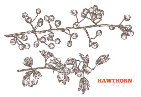 Vector set of sketch hand drawn branches of hawthorn with foliage and berries. Sketch floral herbal plant illustration. Engraved botanical etching Stock Illustratie