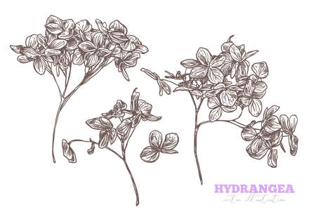 Vector set of sketch hand drawn hydrangea. Sketch flower hortensia illustration. Engraved botanical etching