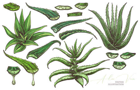 Aloe vera leaf, slices and home flowers vector hand drawn set. Herbal medicine plants sketch illustration with barbadensis, cactus with drop of oil for care for skin. Botanical colorful graphic