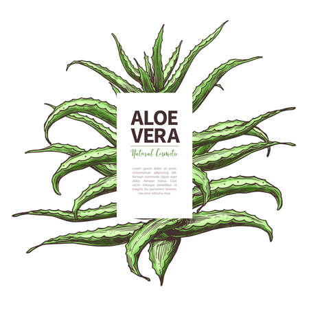 Aloe vera sketch design template of label. Hand drawn vector background with home herbal medicine flower and plant. Botanical illustration