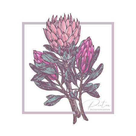 Background with sketch drawing bouquet of protea. Botanical vector illustration for card, wedding invitation, wallpaper, wrapping, textile print. Tropical exotic flower Ilustração