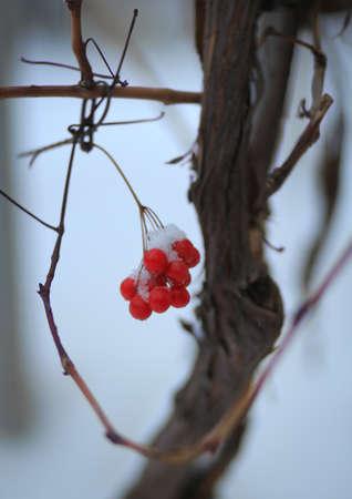 guelder: Guelder tree in winter