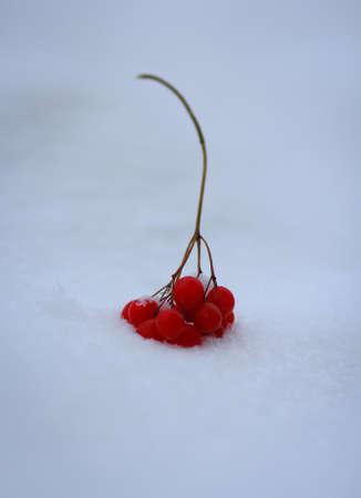 guelder: Guelder in snow
