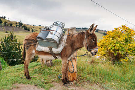 Donkey carrying water and supplies Chimborazo in rural Ecuador