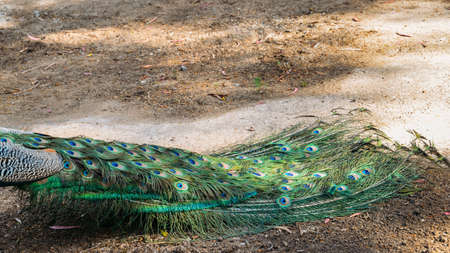 Adult male peacock facing away from camera with colorful and vibrant feathers, vivid blue body and green neon colored tail closed behind.