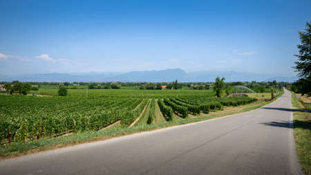 Summer landscape of rows of green vineyards near Sirmione, Lake Garda, Lombardy, Italy