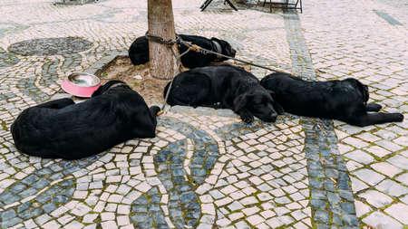 Adorable black lab mix black Labrador dogs asleep on the street in Aveiro, Portugal, despite activity all around them