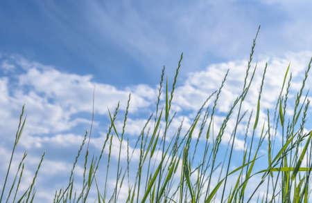 Tilt upward of tall green wild grass softly waving in the wind Banco de Imagens
