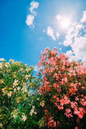 Blooming pink and yellow flowers on shrub against clear blue sky on sunny spring day, copy space Banco de Imagens