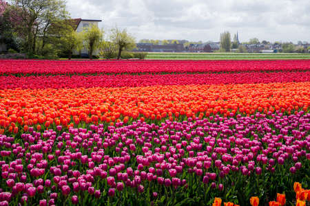 Beautiful tulip fields in Holland during the springtime