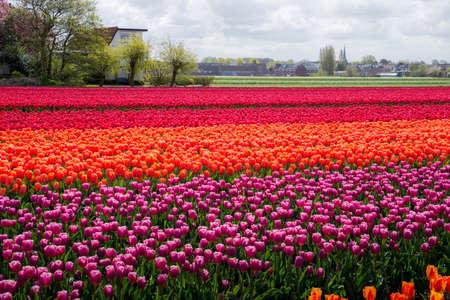 Schöne Tulpenfelder in Holland im Frühling
