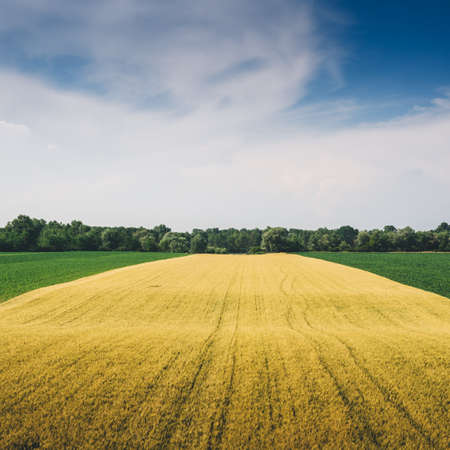 Green and yellow wheat field with copy space