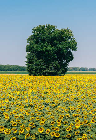 sunflower field in rural Lombardy, Italy with blue sky