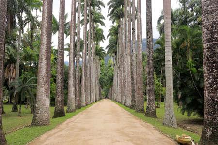 Botanical garden of Rio de Janeiro. Beautiful road surrounded by palm trees. Brazil. Reklamní fotografie