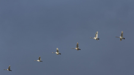 flock: Flock of swans in formation Stock Photo