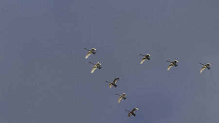 tundra swan: Flock of swans in formation Stock Photo