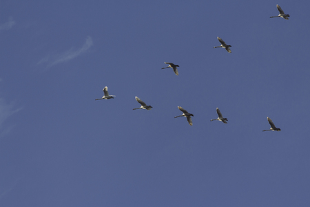 Flock of swans in formation Stock Photo