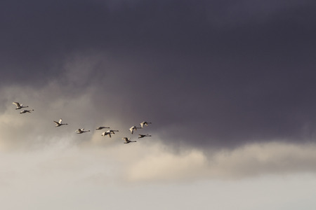 tundra swan: Group of swans in flight against storm clouds Stock Photo