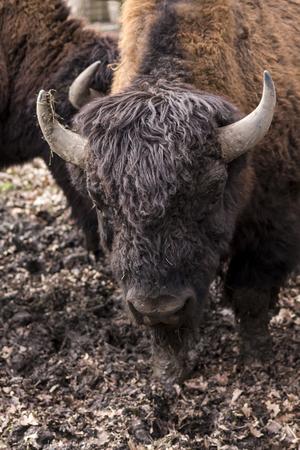 national parks: Bison