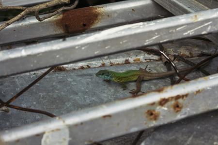 lacerta viridis: European green lizard basking on some metal sheets